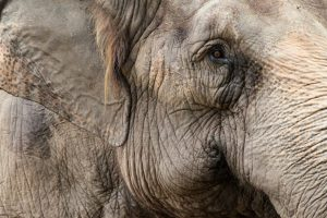 Gammal elefant